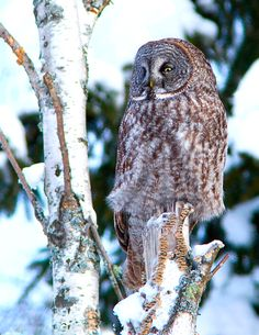 Great Grey Owl By Claudette A.