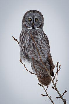 Source: Flickr / hudsonian-godwit  #great grey owl