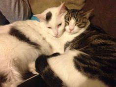 My cats love each other