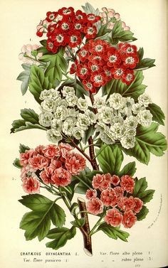 Картинки по запросу hawthorn paleo botany