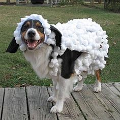 2010 Halloween Pet Parade For Halloween, I want to make Penny a sheep costume. She'll be a wolf in sheep's clothing. 2010 Halloween Pet Parade For Halloween, I want to make Penny a sheep costume. She'll be a wolf in sheep's clothing. Diy Sheep Costume, Sheep Costumes, Nativity Costumes, Diy Dog Costumes, Halloween Costume Contest, Dog Halloween, Costume Ideas, Halloween Ideas, Halloween Party