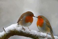 Beautiful Robins Kissing in the Snow | England