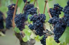 Venturi-Schulze Vineyards