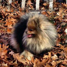 Pomeranian Dog getting List amongst the Autumn Leaves