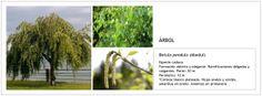 Betula pendula (Abedul)