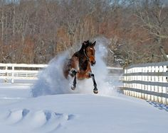 let-your-horse-play:  Racing through the snow, just a Thoroughbred on his own, having lots of fun, we laugh as he goes by hehehe. Idk HAHA