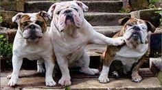 Bulldog Pushing Bulldog Funny Dog Birthday from Group Card by Avanti Press 12615696158 Top 10 Dog Breeds, French Bulldog, English Bulldogs, Life Tv, Dog Birthday, Cute Photos, Funny Dogs, Bullying, Puppy Love