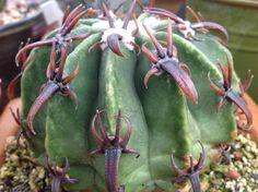 Cactus -
