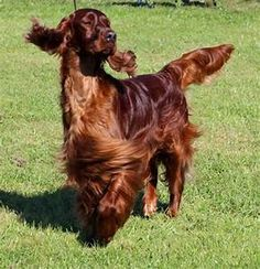 Irish Setter Puppies For Sale Irish Setter Puppies For ...