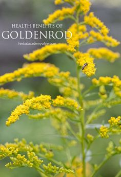 Health Benefits of Goldenrod - Herbal Academy of New England blog