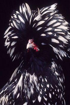Polish chicken