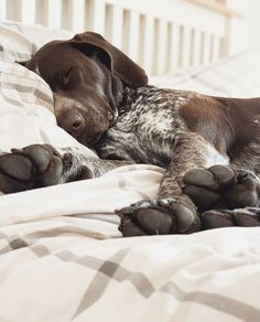 My German Shorthaired Pointer Gsp Puppies, Pointer Puppies, Cute Dogs And Puppies, Baby Dogs, I Love Dogs, Doggies, Crazy Dog Lady, Dog Rules, Beautiful Dogs