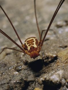 A Harvestman Hunts on the Cave Floor