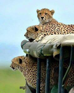 Wildlife Kenia