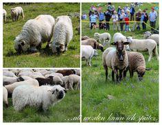 Schaefer, Alter, Lamb, Goats, Animals, Animales, Animaux, Animal, Animais