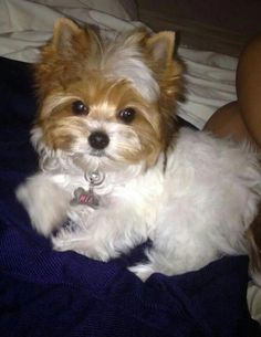 The Popular Pet and Lap Dog: Yorkshire Terrier - Champion Dogs Yorkshire Terrier Teacup, Yorkshire Terrier Puppies, Yorky Terrier, Cute Puppies, Cute Dogs, Biewer Yorkie, Yorkie Poodle, Top Dog Breeds, Rottweiler Puppies