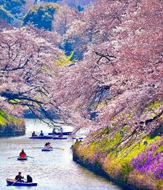 Cherry Blossom in Tokyo - Japan ✨🌸🌸🌸✨