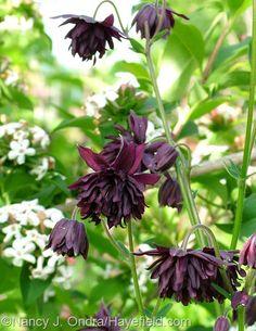 (Aquilegia). Above is 'Black Barlow' with Abelia mosanensis.