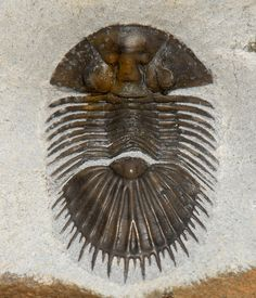 Thysanopeltis: ORDER CORYNEXOCHIDA, Suborder Illaenina, Family Styginidae