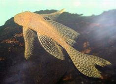 Freshwater Fish - Find incredible deals on Freshwater Fish and Freshwater Fish accessories. Let us show you how to save money on Freshwater Fish NOW! Red Fish Blue Fish, One Fish Two Fish, Sea Fish, Live Aquarium Fish, Freshwater Aquarium Fish, Sea Aquarium, Fish Aquariums, Saltwater Tank, Saltwater Aquarium
