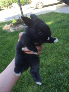 Mini rex holland lop mix black rabbit white nose white toes