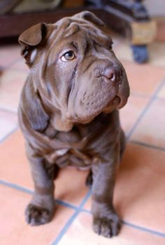Clancy the bulldog/sharpei puppy http://cuteoverload.com/2013/01/16/candidate-for-best-puppeh-name-evah/