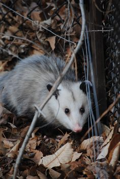 Please be an advocate for 'positive change' in North Carolina!  Join the 'Stop the Live Possum Drop' FB page, sign the petitions....help put an end to the cruelty!  Thank you!    https://www.facebook.com/anne.mathis2?ref=tn_tnmn#!/pages/Stop-the-Live-Possum-Drop-in-Brasstown-NC/292670954102309?fref=ts