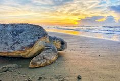 A loggerhead sea turtle returns to the ocean June 30 after nesting on Ossabaw Island, Ga. The giant, Sea Turtle Nest, Baby Sea Turtles, Sea Turtles Hatching, Loggerhead Turtle, Florida Fish, Freshwater Aquarium, Aquarium Fish, Natural Resources, Habitats