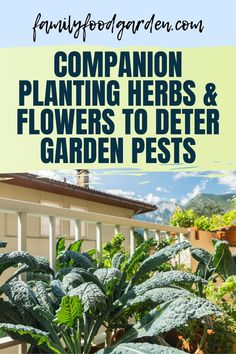 Did you know that companion planting herbs and flowers can deter common garden pests? Family Food Garden wants to teach you how to layout your garden to protect your vegetables this season. Check out their post for more information. #companionplanting #gardenpests #vegetablegarden #gardeninghacks #howtocompanionplant Growing Herbs, Growing Flowers, Planting Flowers, Flower Gardening, Gardening For Beginners, Gardening Tips, Healthy Fruits And Vegetables, Organic Gardening, Indoor Gardening