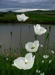 White poppies Flowers Garden Love