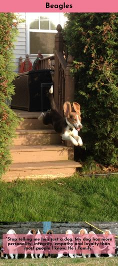 Discover more about Beagles #Beagles Follow the link for more information.