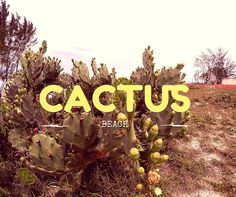 Cacto na barra de maricá #caminhando #shooting #barrademaricá #cactos #cactusbeach #espinhos #agua #seca #mato #plantas