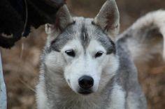 Pyewacket - Siberian Husky