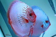 12 quick aquarium tips for beginners Pretty Fish, Cool Fish, Beautiful Fish, Tropical Freshwater Fish, Freshwater Aquarium Fish, Tropical Fish, Diskus Aquarium, Acara Disco, Oscar Fish
