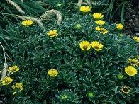 Perennial Astericus