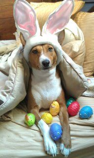 Easter Basenji...so freakin cute!!!!