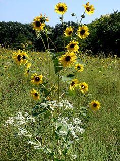 Wildflowers in the Konza Prairie, near Manhattan, Kansas