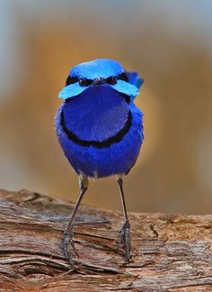 Splendid Fairy-wren from Australia, male in breeding plumage with face fan display. The female is much less colorful.