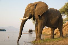 Two African Elephant bulls quenching their thirst on the Zambezi river at sunset