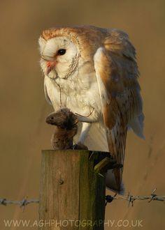 Barn Owl with Prey [a vole] by Tony House