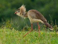 Foto seriema (Cariama cristata) por João Dias | Wiki Aves - A Enciclopédia das Aves do Brasil