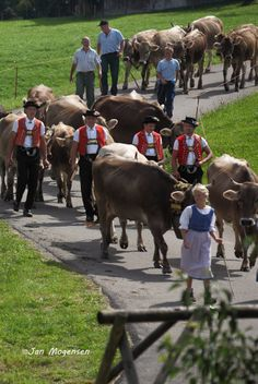 Farmers coming with the cows from the Alp to join the annual cow market in town in Toggenburg.