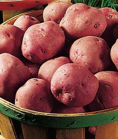 Exotic Vegetable Seeds Hardy Perennial Garden Garden Rare 20pcs Organic Potato Red Pontiac Seeds Easy to Grow