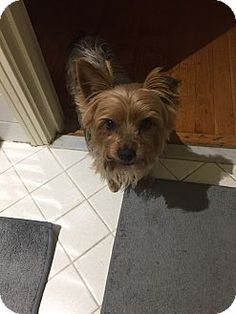 Pictures of Lexi a Yorkie, Yorkshire Terrier Mix for adoption in Overland Park, KS who needs a loving home.
