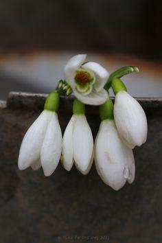 Bucaneve Raggio di vita nel rigor del verno, Simboleggia di speme il fiore eterno.