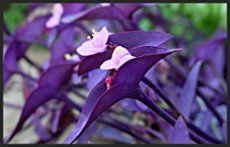 The wandering jew plant is not a single plant — it refers to 3 different types of houseplants! Learn how to grow them in this in-depth care guide. Purple Heart Plant, Purple Plants, Purple Garden, Planting Succulents, Planting Flowers, Succulent Plants, House Plant Care, House Plants, Wondering Jew Plant