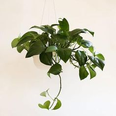 Raw Earth Hanging Planter - Chalk White– Pigment Modern Spaces, Small Spaces, Large Hanging Planters, Tall Ceilings, Plant Leaves, Indoor, Earth, Plants, Beautiful