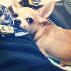毎日こいつに癒やされるん。 #ace #cute #chihuahua #dog #pet #prety #エース #チワワ #スムチー #スムースチワワ #犬 #ペット #可愛い