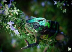 cameleon-panthere-couleurs