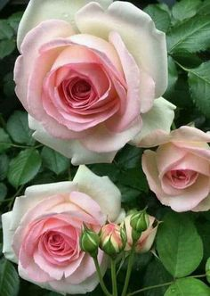 Why Rose Gardening Is So Addictive - Urban Gardening Pretty Roses, Beautiful Roses, All Flowers, Amazing Flowers, Foto Rose, Parfum Rose, Roses Only, Rose Pictures, Colorful Roses